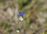 Eastern Tailed-blue _MG_2504.jpg
