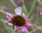 Eastern Tailed-blue _MG_3104.jpg