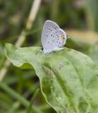 Eastern Tailed-blue _MG_4450.jpg