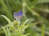 Eastern Tailed-blue _MG_5396.jpg