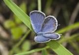 Eastern Tailed-blue _MG_5434.jpg