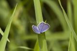Eastern Tailed-blue _MG_5447.jpg