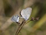 Eastern Tailed-blue _MG_7841.jpg