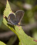 Eastern Tailed-blue female _MG_9347.jpg