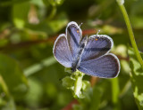 Eastern Tailed-blue _MG_9359.jpg
