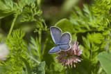 Eastern Tailed-blue _MG_9616.jpg