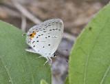 Eastern Tailed-blue _MG_9659.jpg