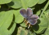 Eastern Tailed-blue female _MG_9664 (1).jpg
