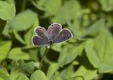 Eastern Tailed-blue female _MG_9670 (1).jpg