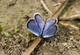 Eastern Tailed-blue _MG_9816.jpg