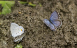 Eastern Tailed-blues _MG_9821.jpg