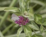 Eastern Tailed-blue female _MG_9983.jpg