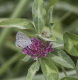 Eastern Tailed-blue female _MG_9984.jpg