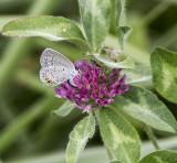 Eastern Tailed-blue female _MG_9985.jpg