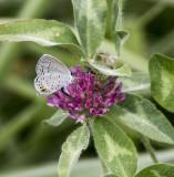Eastern Tailed-blue female _MG_9987.jpg