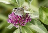 Eastern Tailed-blue female _MG_9989.jpg