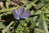 Eastern Tailed-blue _MKR1567.jpg