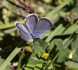 Eastern Tailed-blue _MKR1569.jpg