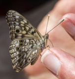 Hackberry Emperor _MG_0876.jpg