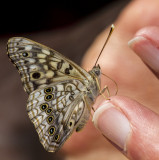 Hackberry Emperor _MG_0871.jpg