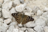 Hackberry Emperor _MG_0065.jpg