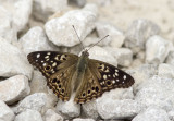Hackberry Emperor _MG_0067.jpg