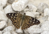 Hackberry Emperor _MG_0068.jpg