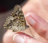 Hackberry Emperor _MG_0880.jpg