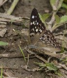 Hackberry Emperor _MG_2184.jpg