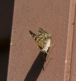 Hackberry Emperor _MG_4302.jpg
