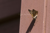 Hackberry Emperor _MG_4305.jpg