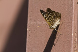 Hackberry Emperor _MG_4306.jpg