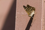 Hackberry Emperor _MG_4307.jpg