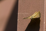 Hackberry Emperor _MG_4309.jpg