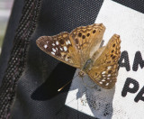 Hackberry Emperor _MG_5277.jpg