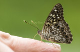 Hackberry Emperor on finger_MG_9847.jpg
