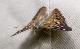 Hackberry Emperor on Bob _MG_9850.jpg