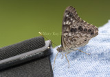 Hackberry Emperor on Bob _MG_9855.jpg