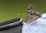 Hackberry Emperor on Bob _MG_9860.jpg