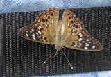 Hackberry Emperor on Bob _MG_9864.jpg
