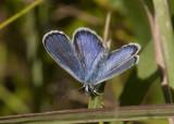 Karner Blue male  I9I9801.jpg