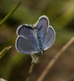 Karner Blue male  I9I9855.jpg