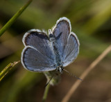 Karner Blue male  I9I9856.jpg