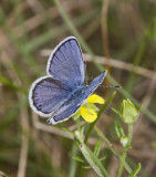 Karner Blue male  MG9101.jpg