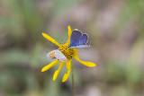 Karner Blue male  & American Copper MG0630.jpg