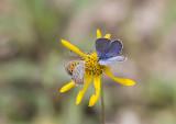 Karner Blue male  & American Copper MG0632.jpg