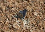 Karner Blue male  I9I9783.jpg