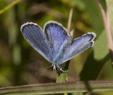 Karner Blue male  I9I9800.jpg