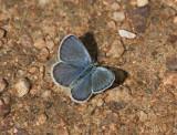 Karner Blue male  I9I9815.jpg