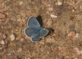 Karner Blue male  I9I9817.jpg